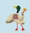 duck-alone